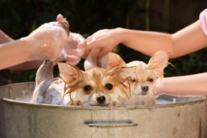 Two Pomeranian puppies being bathed outside in an old tin tub.
