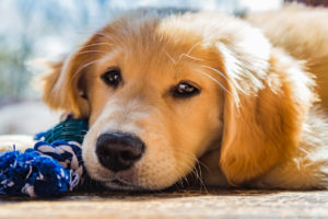 A cute golden retriever puppy sitting in the window with his favorite toy.