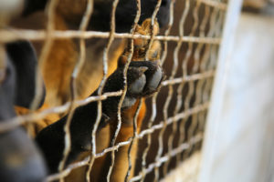 Abandoned dogs in the kennel,homeless dogs behind bars in an animal shelter.Dogs paw behind the fence,dog looking out through the wire of his cage.